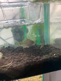 水槽で飼育しているバラタナゴ の雌が産卵管を体長の半分程伸ばしていたのでサテライトに雄と二枚貝と共に移し数日様子を見ていました。先程確認していると雌の産卵管が半分程縮んでいました。これは二枚貝に産卵し た可能性があるとみて宜しいのでしょうか。ちなみに今は雄と一緒に端の方でじっとしています。