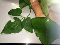 この水辺に生えてた植物の名前は…? ・葉は両面無毛 ・茎は角ばる ・葉柄は上面中央に凹みがある ・水辺から10mぐらいのところに生えていた  ご存知の方いらしたら、宜しくお願い致します…。