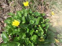 この黄色い花を咲かせた植物は…? 2月23日に撮影しました。 田園地帯の空き地に咲いていました。 ご存知の方いらしたら、宜しくお願いします…!