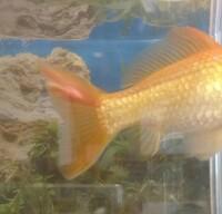 金魚の病気について教えてください 家の金魚の尾びれに最近白いかたまりのようなものができました 尾びれの先も少し切れているようです 調べたらカビや粘膜といった病気だとありましたがどち らでしょうか 尾...
