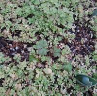 この草の名前を教えて下さい。   昨年11月頃にホームセンターで買ったレンゲソウの種をまいたところ、ところどころに画像中央の草が数株出てきました。  別の場所にまいたところにも出ています。 庭の他の場...