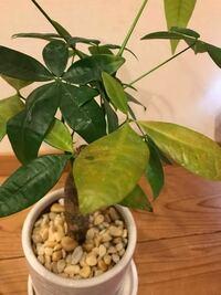 パキラを育てています。室内の南の窓際に置いています。 最近、葉っぱが茶色っぽくなってきています。 お水は2週間くらいに一度上げている感じです。 なんで茶色っぽくなってしまうのでしょうか?