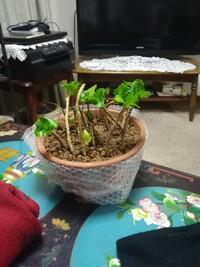 アジサイの休眠挿し木 2月半ばにおこないました。 今現在、葉っぱも青々と 育ってきました。 いつ頃根が張ってきて 植え替えが出来ますか