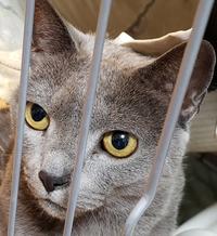 うちの猫は、ロシアンブルーじゃないんでしょうか?  9年前ペットショップで売れ残り、別の店に移動する予定だった子を家族として迎え入れました。 それから、9年間一緒に暮らしているんです が…  血統書に...