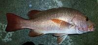 この魚は何?食べられる?  与那国島の港で本日夜釣れました。イカの打ち込み。50センチくらい。  ゴマフエダイ?アカナー?