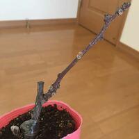 この小さなキウイの苗ですがまるで枯れ枝のようです。 真ん中辺り一つ芽吹きそうで枯れてはいないかなと思いますが、こんなものですか?