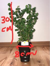 ベンジャミンバロックを買いました。 鉢は約8センチ 木の高さは約30センチ 黒いビニールポットが中に入ってます。  これは植え替えをしないと、小さな鉢になりますか?