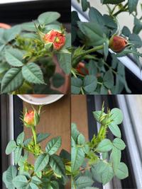 ミニバラの花(蕾)に色がつかない  ミニバラを育てているのですが少し前から蕾がついても色がつかず綺麗なバラの花が咲きません。 写真のように花びらが緑のままなのです。 肥料も液肥をたまに あげています。 しかも最近ついた蕾には脇にも小蕾が沢山ついておりなんだか異常ではないのかな、と思っています。 どなたかバラの育て方に詳しい方、改善方法を教えたください。