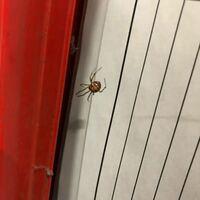 このクモ(蜘蛛)毒蜘蛛かどうかわかりますか?
