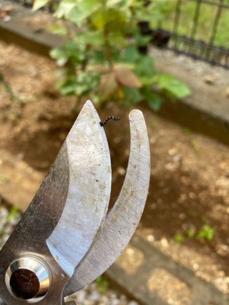 バラを花壇で育ててるのですが今日水をあげていたら黒い幼虫を見つけました。なんで名前の幼虫ですか?