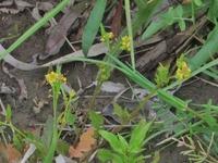 黄色い小さな花の名前を教えて下さい。  撮影日 2020-04-12 撮影地 利根川河川敷