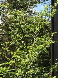 初めまして。 樹木の種類について質問させて下さい。  こちらの木の種類をご存知の方いらっしゃいますでしょうか?  知識のある方、どうかご教示下さい。 宜しくお願い致します。