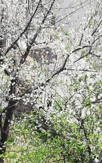 わかりにくい写真で、すみません。 この木は何の木でしょうか?  今咲いている花が散った後は丸い実がなっています。