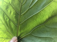 ウンベラータの葉っぱ黒い点々… ハダニがついてしまったようです。 以前にもハダニが出て、絶滅したはずなんですが、スプレーで殺虫剤を、まくのが結構手間です。ボトボト下に落ちますし… 重いのでベランダに、出してホースで水をかけるのが少し困難です。  土に薬剤をおく?刺す? などの良い殺虫剤は無いでしょうか?