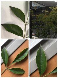 シマトネリコが昨年より元気がないです。 例年、今時期には青々と葉を開かせているのですが、今年は葉が枯れ落ちて行っています。 何かの病気だと思うのですが…  原因と対策、病気の治癒方法を教えて頂けると幸い...