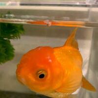 金魚について! オランダ獅子頭の頭の肉瘤に白いカビみたいのが見受けられます。画像のような!これ病気ですか?