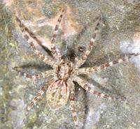 このクモの名前を教えてください。 奥多摩の渓流沿いで撮影しました。