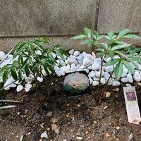 芍薬について 芍薬を今年の1月に植えて先月まで新芽が伸びて来たのですが、ここ一か月で成長が止まり20cm程しかありません。 葉は緑なので根腐れなどではないかと思うのですが、このまま成長はしないのでしょうか...