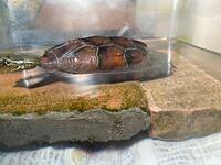 亀を室内で飼育して、紫外線ランプも当てています 亀がレンガの上に上がってきても甲羅の下の方は水に浸かったままです。 甲羅干しする際は水に使っていない陸地を作ってあげた方がいいのでしょうか?
