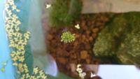 ホテイ草とウキクサとアナカリスしか入れてなかったメダカの水槽に突如現れました。少しずつ大きくなってます。なんという名称の水草かわかる方いましたら、よろしくお願いします。