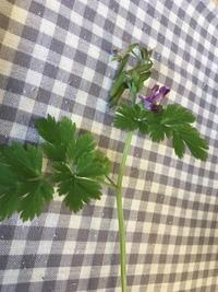 庭をこれが占領してます   葉っぱはイタリアンパセリ風なのですが、 花がピンクで、 イタリアンパセリとは違うみたいです。  雑草なら、 全部引っこ抜きたいのですが。  どなたか、草 の名を 教えてください。