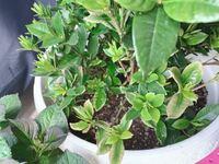 くちなしの鉢植えについて くちなしの苗を2週間ほど前に購入しました。 大きくなるだろうと10号の鉢植えに、ガーデニング用の土で植えました。 1週間くらいは瑞々しく綺麗な緑色の葉だったのですが 2週間経った今、所々が茶色くなり、触るとパリパリ音をたてて落ちてしまいます。 もうすぐ咲くだろうと楽しみにしていた花も、白ではなく茶色で開いています。  土が悪かったのでしょうか? 水が足りないのでしょ...