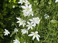 この植物何かわかる方教えて頂けませんか?ハナニラに似てるのですが違います。夜には花を閉じます。