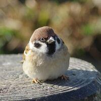 スズメみたいな体型の鳥が飼いたいです。 シュッとした感じではなく、ぼってっとした感じの鳥です。  飼える鳥でぼってっとした感じの種類を教えてください。