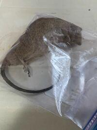屋根裏にネズミの遺体を見つけたのですが、ドブネズミかクマネズミの区別がなかなかつきません。 ネズミなどに詳しい方がいましたら、とても助かります。