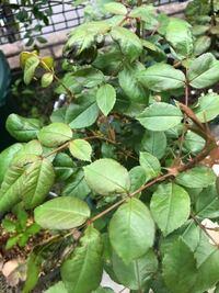 バラの葉っぱが茶色くなっていました、 何が原因でしょうか? 対処法はありますか??