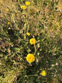 この雑草の黄色い花の名前を教えて下さい
