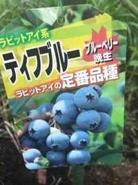 今日、ブルーベリーのラビットアイ系のティフブルーを買い、庭に植えました。しかし、友人からは、ブルーベリーは二品種植えないと、実が付かないよ、と言われました。つまり、ブルーベリーのラビットアイ系の別...