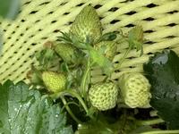 いちご栽培。  実が密集してます。  形が悪いのは、とってしまった方が  良いですか?