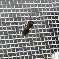 庭でハチ?のような物に刺されてしまったのですがこの虫はなんていう種類でしょうか? 羽アリだと思って手で捕まえてしまい鋭い痛みが走りました。捕まえて種類を同定しようと思いましたが難しかったです。 この...