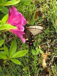 この蝶はベニモンアゲハで合っていますか?