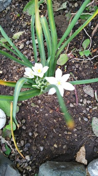 隣人から頂いた花です。 名を聞いたのですが隣人も忘れたそうです。 この花の名前をお教え願います。