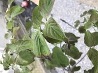 ハナミズキの葉の先が茶色くなっています。 殆どの葉がそうです。 これはどうしてしまったのでしょうか?