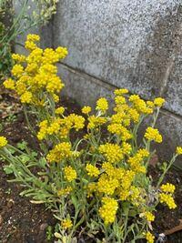 この黄色いお花の植物の種類をご存知の方、教えていただけませんか? 庭に勝手に生えたのですが、周りに同じ植物がなく、どこからともなく生えました。 綺麗なので引っこ抜かずにいます。  検索しても黄色いお花が多数あり特典出来ずにおります。  どうぞ宜しくお願い致します。