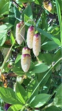 この植物は何ですか? 今日この植物を公園で見かけました。 最初は(甲虫系の)芋虫がぶら下がってるのかと思ってビックリしましたが、触ると普通の植物で何かの花のツボミの様です。 この植物は何かわかりますか?