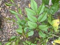 この植物の名前を教えて下さい。  トネリコの株から生えてきているのですが、トネリコより葉っぱが1.5倍くらい大きく、葉の形状も異なります。 同じ株から類似のトネリコが生えているのでしょうか、別の植物が生えてきているのでしょうか。