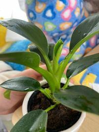 ダイソーで買ったこの植物は何という植物ですか?