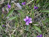 芝生の雑草、とくにスミレをなかなか退治出来なくて困っています。 高麗芝を張ってあり、冬場は積雪がある為に芝が緑になるまでは、地道に深い根っこから手抜きをして退治していますが、芝生が色付いからは除草剤を使っています。 ザイトロン、シバゲン、アージラン、MCPPの手持ちがありますが、スミレの除草にはどの薬剤が効果があるでしょうか? また散布の時期や薬剤の複数組み合わせ、濃度など、スミレを退治する...