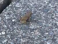 このカエルの種類を教えてください。  大きさは約2〜3cmで跳び方がアマガエルのような俊敏さが見られず警戒心が薄めでした。(自分がカエルの前に立っているのに向かってきた)