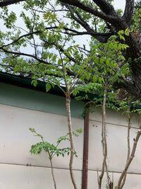タラの芽を植え替えたいと思っています。 根っこごと植え替えないと育たないでしょうか?  もし分かる方が居ましたら、教えていただきたいです。
