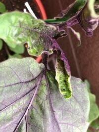 ベランダで茄子を育てています。 ですが最近葉っぱが虫に喰われており対処策を知りたいです。 また、この虫は何という虫なのでしょうか? お分かりの方教えていただけると嬉しいです!