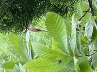 この画像の木、なんの木が分かる方いますか? (きみど色の葉っぱのやつです)  家の庭にいつの間にか生えていて、大きくなりそうで心配です (--;) 葉っぱから特定お願いします 植物に詳しい 方の回答お待ちしております!