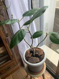 フィカスベンガレンシスについて… 3年前から育てているのですが、あまり成長してません。 若干、茎と葉っぱが成長したくらい… 肥料も与え、一度一回り大きい鉢に植え替えもしてます。 随時水やり、葉水、日の当た...