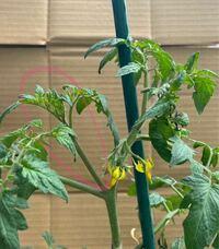 トマトの脇芽 写真のピンクで○してある所は脇芽ですか?