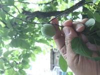 梅酒作り方を教えてください。 庭に梅の木があって、たくさん梅の実が実っていて、収穫タイミングなんでしょうか? 作り方について 教えていただけないでしょうか? よろしくお願い申し上げ ます。