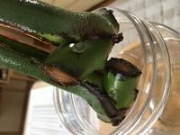 モンステラの水差し失敗? 先日巨大なモンテスラを剪定しまして、茎に新芽のようなものがあるところを残して切りました。 すると切ったところから黒ずんできています。応急処置などありますか ?  水は毎日変えています… メネデール液は使っていません。